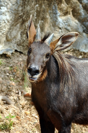 The Sumatran Serow is threatened due to habitat loss and hunting, leading to it being evaluated as vulnerable by the IUCN. Stock Photo