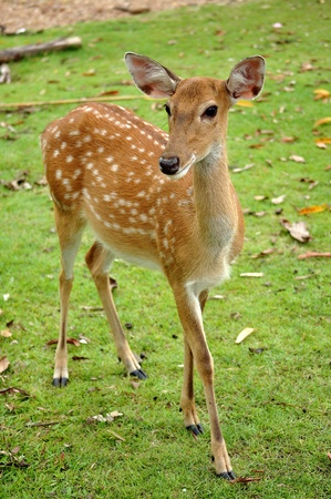 The Sika deer is one of the few deer species that does not lose its spots upon reaching maturity. Stock Photo