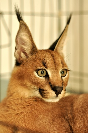 The caracal is a fiercely territorial medium-sized cat ranging over Western Asia, South Asia and Africa.