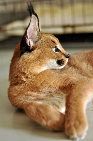 The caracal is a fiercely territorial medium-sized cat ranging over Western Asia, South Asia and Africa  photo