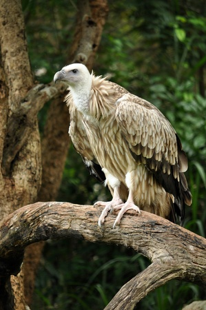 The Himalayan Griffon Vulture is a typical vulture, with a bald white head, very broad wings, and short tail feathers. It is even larger than the European Griffon Vulture. It has a white neck ruff and yellow bill. The whitish body and wing coverts contras Stock Photo