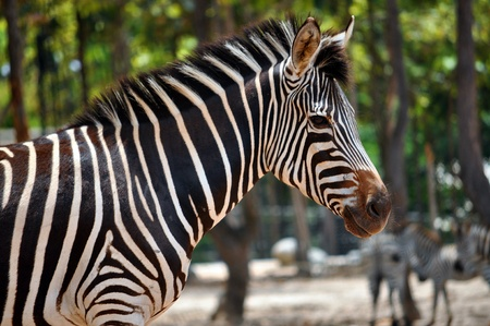 Zebras are African equids (horse family) best known for their distinctive black and white stripes. Stock Photo