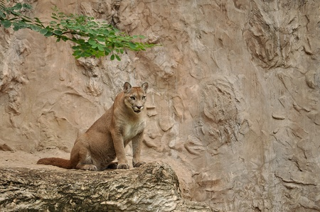 The cougar (Puma concolor), also known as puma, mountain lion, mountain cat, catamount or panther, depending on the region, is a mammal of the family Felidae, native to the Americas. photo