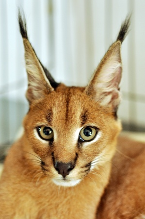 fiercely: The caracal is a fiercely territorial medium-sized cat ranging over Western Asia, South Asia and Africa.
