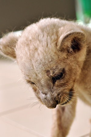 to observer: lion cub Stock Photo