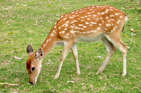 herbivore natural: The Sika deer is one of the few deer species that does not lose its spots upon reaching maturity. Stock Photo