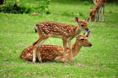 deer  spot: The Sika deer is one of the few deer species that does not lose its spots upon reaching maturity. Stock Photo