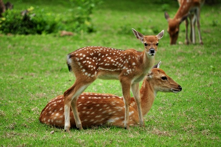 spotted: The Sika deer is one of the few deer species that does not lose its spots upon reaching maturity. Stock Photo