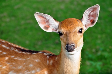 tail: The Sika deer is one of the few deer species that does not lose its spots upon reaching maturity. Stock Photo