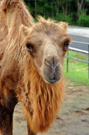 an ungulate: Il cammello battriano � un grande artiodattili ungulato originaria delle steppe dell'Asia centrale.