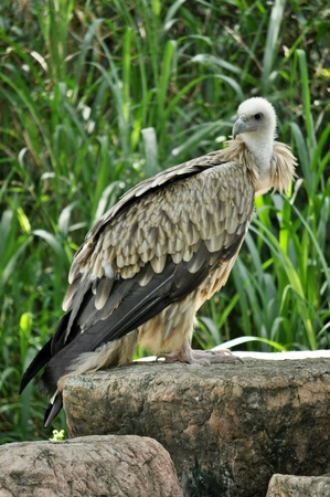 The Himalayan Griffon Vulture is even larger than the European Griffon Vulture. It has a white neck ruff and yellow bill. The whitish body and wing coverts contrast with the dark flight feathers.