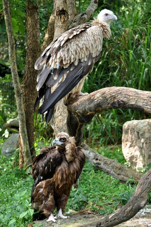 The Cinereous Vulture is believed to be the largest bird of prey in the world. The Himalayan Griffon Vulture is even larger than the European Griffon Vulture.  photo