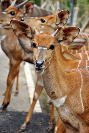 The Nyala is a Southern African antelope. It is a spiral-horned dense-forest antelope that is uncomfortable in open spaces and is most often seen at water holes.  photo
