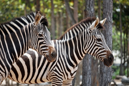 familiar: The unique stripes of zebras make these among the animals most familiar to people.