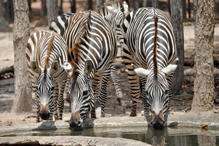 The unique stripes of zebras make these among the animals most familiar to people. photo