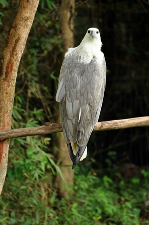 The White-bellied Sea Eagle has a white head, rump and underparts, and dark or slate-grey back and wings. Stock Photo - 10747094