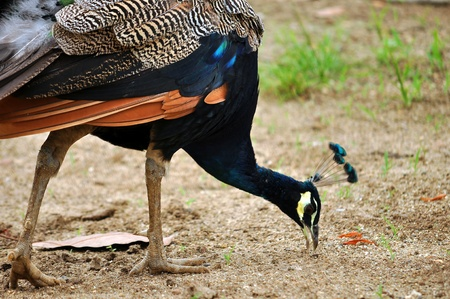 The peafowl are forest birds that nest on the ground but roost in trees. They are terrestrial feeders. photo