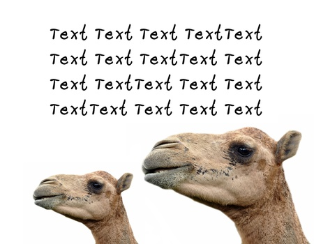 The dromedary or Arabian camel has a single hump. Dromedaries are native to the dry desert areas of West Asia. photo