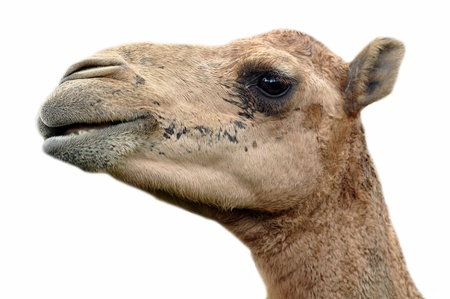 dromedaries: The dromedary or Arabian camel has a single hump. Dromedaries are native to the dry desert areas of West Asia.
