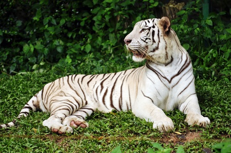 subspecies: To date, the only known white tigers have been from the Bengal tiger subspecies.
