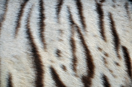 documented: Dark-striped white individuals are well-documented in the Bengal Tiger
