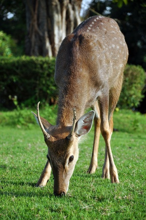 The sika deer can be active throughout the day, though in areas with heavy human disturbance they tend to be nocturnal.  photo
