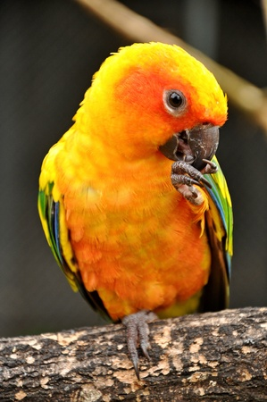 Sun Conure has a rich yellow crown, nape, mantle, lesser wing-coverts, tips of the greater wing-coverts, chest, and underwing-coverts. photo