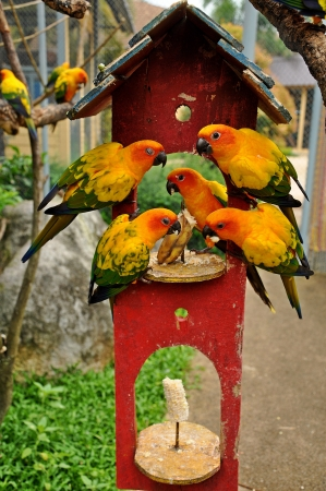 underwing: Sun Conure has a rich yellow crown, nape, mantle, lesser wing-coverts, tips of the greater wing-coverts, chest, and underwing-coverts