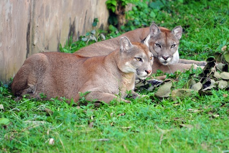 depending: The cougar (Puma concolor), also known as puma, mountain lion, mountain cat, catamount or panther, depending on the region, is a mammal of the family Felidae, native to the Americas.