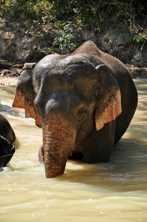 Elephants are the largest living land animals on Earth today. Stock Photo