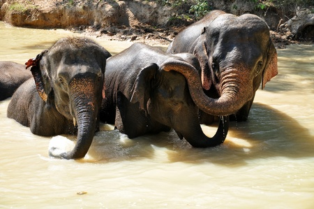 Elephants are the largest living land animals on Earth today. Stock Photo - 11539550