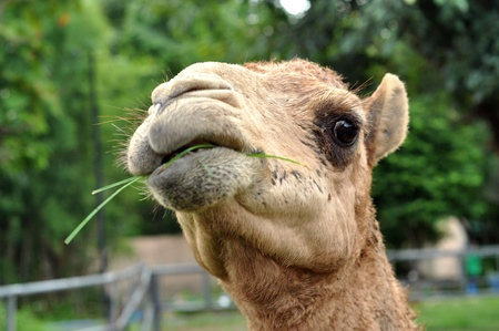 The dromedary camel is the largest member of the camel family.