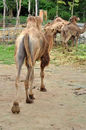 The Bactrian camel is a large, even-toed ungulate native to the steppes of central Asia.  photo