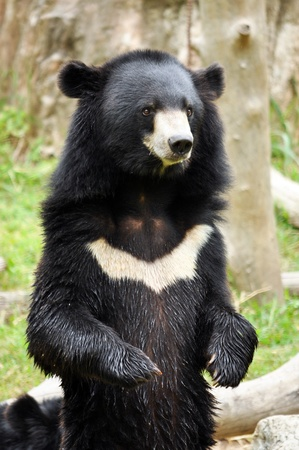 Asian black bears are similar in general appearance to brown bears, but are more lightly built and more slender limbed.
