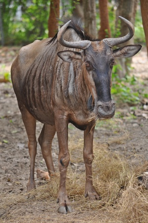 Due to their migratory ways, the wildebeest do not form permanent pair bonds or defend a set territory. Stock Photo