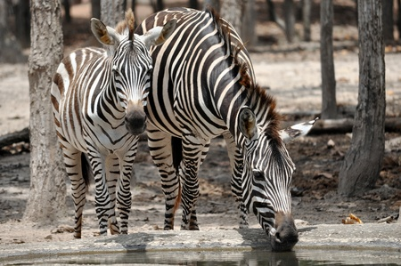 The unique stripes of zebras make these among the animals most familiar to people. Stock Photo - 11539479