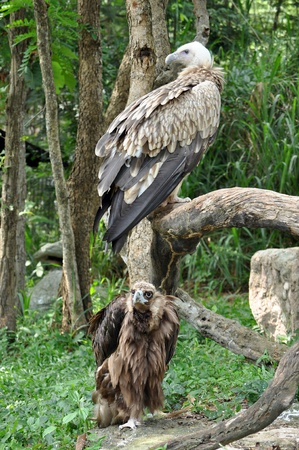 Vulture is the name given to two groups of convergently evolved scavenging birds, photo