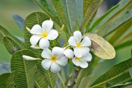 Plumeria (common name Frangipani) is a genus of flowering plants of the family which includes Dogbane: the Apocynaceae. Stock Photo