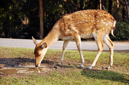 nippon: The Sika Deer, Cervus nippon, also known as the Spotted Deer or the Japanese Deer.
