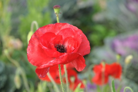 Poppies are sometimes used for symbolic reasons such as in poppies are sometimes used for symbolic reasons such as in remembrance of soldiers who have mightylinksfo