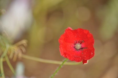 wartime: Poppies are sometimes used for symbolic reasons, such as in remembrance of soldiers who have died during wartime.