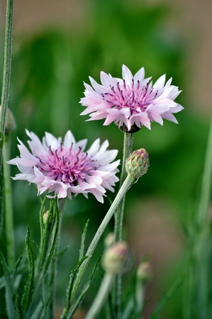 centaurea: Centaurea is a genus of between 350 and 600 species of herbaceous thistle-like flowering plants in the family Asteraceae.