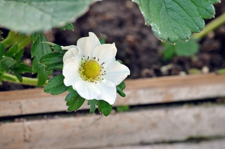 Strawberries are often grouped according to their flowering habit. photo