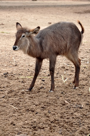 Waterbuck are found in scrub and savanna areas near water where they eat grass.  Stock Photo