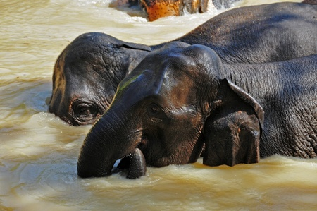 Elephants are the largest living land animals on Earth today. photo