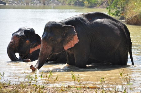 Elephants are the largest living land animals on Earth today. Stock Photo - 12475264