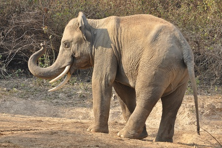 Elephants are the largest living land animals on Earth today. 免版税图像
