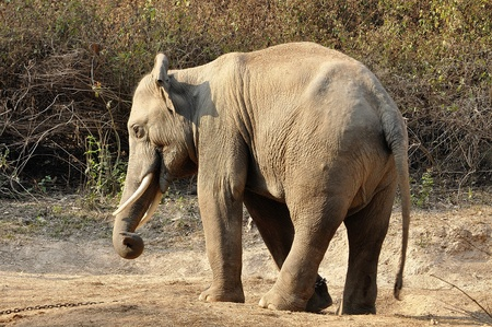 Elephants are the largest living land animals on Earth today. Stock Photo - 12969017