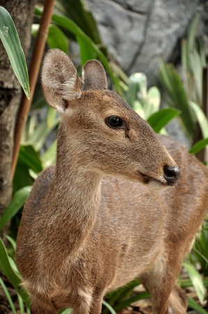 asia deer: The Hog Deer is a small deer whose habitat ranges from Pakistan, through northern India, to mainland southeast Asia  Stock Photo