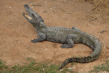 Siamese crocodile is a freshwater crocodile native to Indonesia  Borneo and possibly Java , Brunei, East Malaysia, Laos, Cambodia, Burma, Thailand, and Vietnam  The species is critically endangered and already extirpated from many regions Stock Photo - 13442897